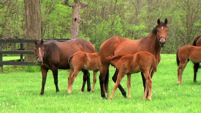 Foal Nursing video