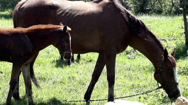 HD: Foal There are horses on a green grass in the forest. Nature background. animal family stock videos & royalty-free footage