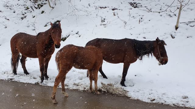 Foal with parents in the snow. Family of wild horses in the snowy forest.