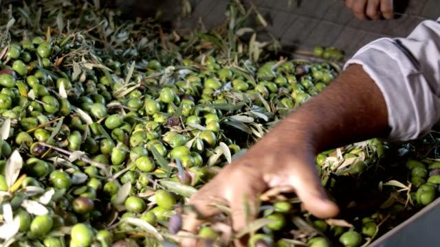 vídeos y material grabado en eventos de stock de centrarse en la producción de aceite de oliva en el sur de italia. los granjeros están revisando las aceitunas seleccionadas - cosechar