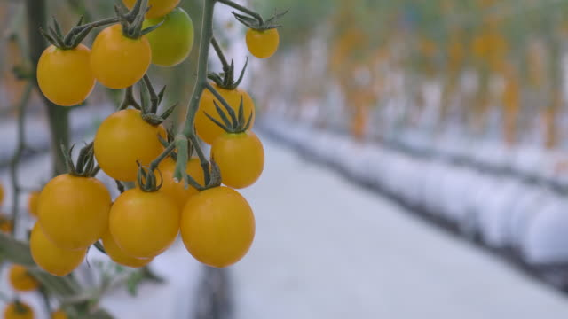 Focus shift shot of yellow tomato greenhouse