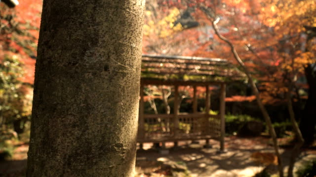 focus: wooden pavilion with red maple Plants in Japanese Garden video