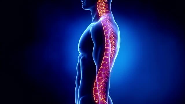 Concentré sur la colonne vertébrale vertèbre à boucle - Vidéo