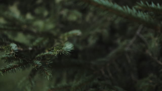 Focused view of needles of pine tree, sharp needles moving in the wind. Sarajevo, Bosnia Herzegovina: Focused view of needles of pine tree, sharp needles moving in the wind. pine tree stock videos & royalty-free footage