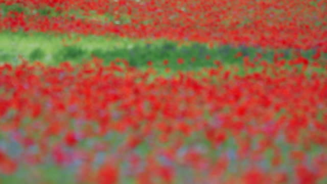 concentrandosi campo fiorente con poppies in estate - rack focus video stock e b–roll
