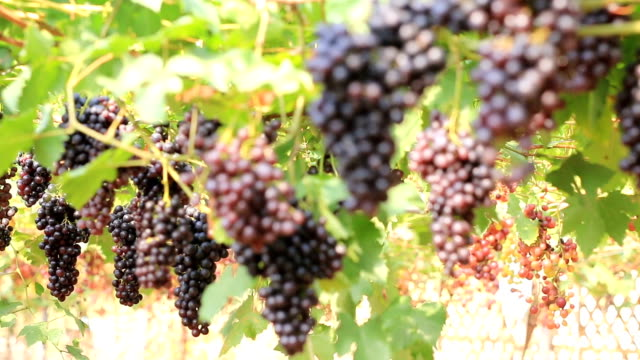 4K Focusing:White Grapes In Vineyard video