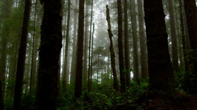 nebbia copre una di foresta con alberi alti e gangly. - yeti video stock e b–roll