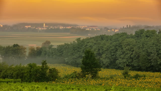 T/L Fog floating over field of sunflowers