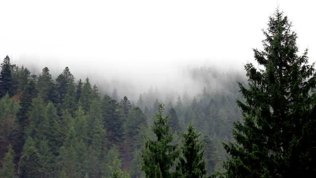 dimma i mysterium skogen - städsegrön växt bildbanksvideor och videomaterial från bakom kulisserna