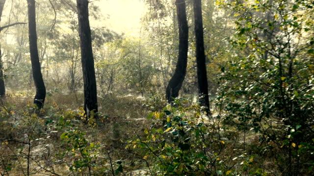 vídeos de stock, filmes e b-roll de nebuloso dia ensolarado em uma floresta de pinheiros. - bétula