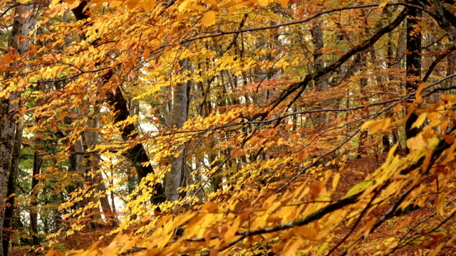 Foliage in Monti Cimini, Lazio, Italy. Autumn colors in a beechwood. Beechs with yellow leaves. video