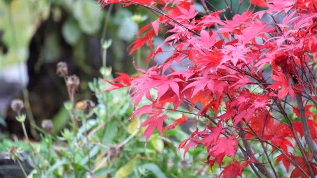 Foliage of Japanese maple tree Atropurpureum sways in the wind (Acer palmatum) video