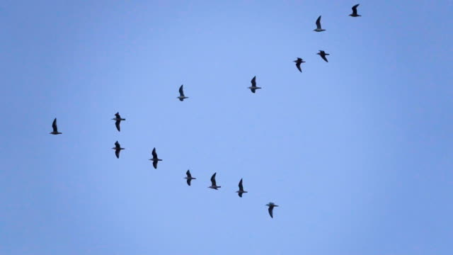 follow leaders: flock of  seagull flying in an imperfect v formation. slow motion.  birds gull flying in formation, blue sky background. migrating greater birds flying in formation - кряква стоковые видео и кадры b-roll