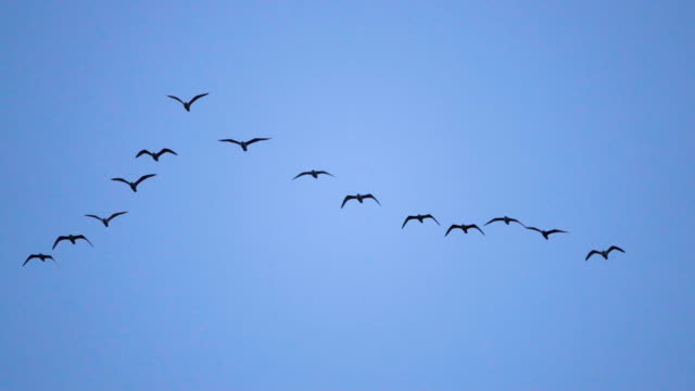follow leaders: flock of  seagull flying in an imperfect v formation. slow motion.  birds gull flying in formation, blue sky background. migrating greater birds flying in formation - птица стоковые видео и кадры b-roll