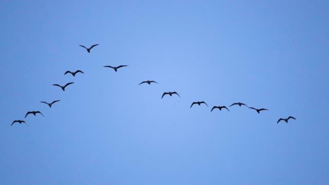 vídeos y material grabado en eventos de stock de siga a líderes: bandada de gaviotas volando en una formación imperfecta de v. cámara lenta.  gaviota de pájaros volando en formación, fondo de cielo azul. aves migratorias de mayor vuelo en formación - pájaro