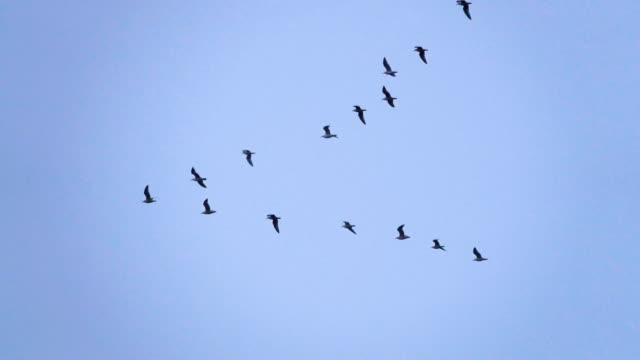 vídeos de stock e filmes b-roll de follow leaders: flock of  seagull flying in an imperfect v formation. slow motion.  birds gull flying in formation, blue sky background. migrating greater birds flying in formation - arranjo