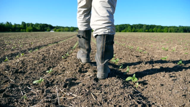 vidéos et rushes de suivez aux pieds mâles dans des bottes de marche à travers les petits choux verts du tournesol sur le terrain. - bottes