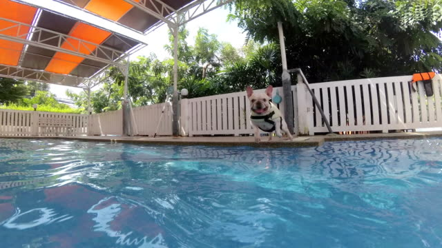 4K Follow up underwater shot : french bulldog puppy jumping into swimming pool with life vest