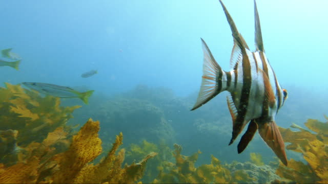 Following and angelfish through kelp with other fish in the background Following and angelfish through kelp with other fish in the background off the coast of Manly, Australia kelp stock videos & royalty-free footage