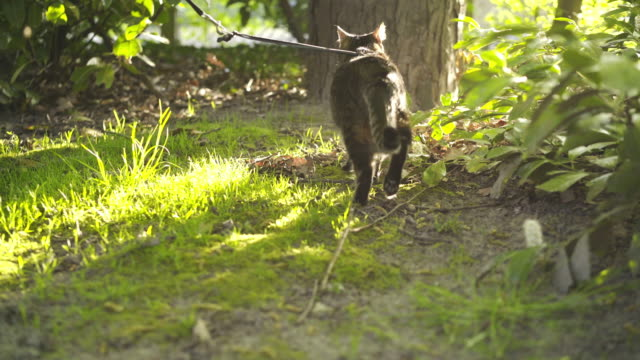 Following cat in sun shine Cat on outdoor in sunny spring day. Back view following cat walking in park in shine and looking around. leash stock videos & royalty-free footage