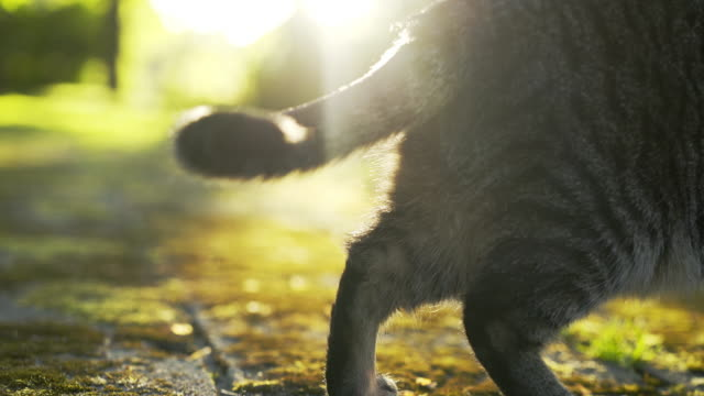 Following cat in sun shine Cat on outdoor in sunny spring day. Back view following cat walking in park in shine and looking around. tail stock videos & royalty-free footage