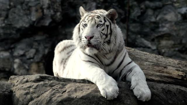 Depois de olhar de um tigre de Bengala branco jovem, deitado no rock. - vídeo