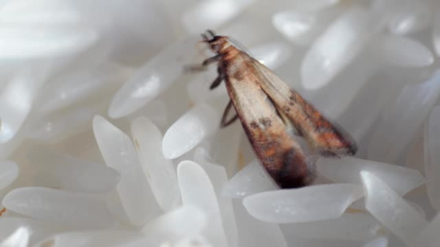 food moth, mealmoth on food, rice video