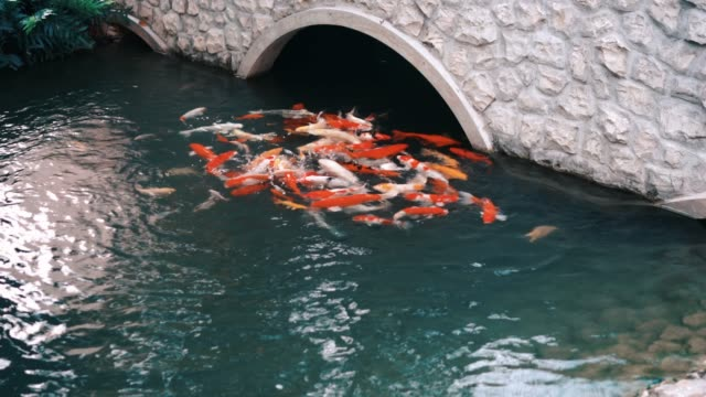 4K Footage Bridge over the water with koi fish