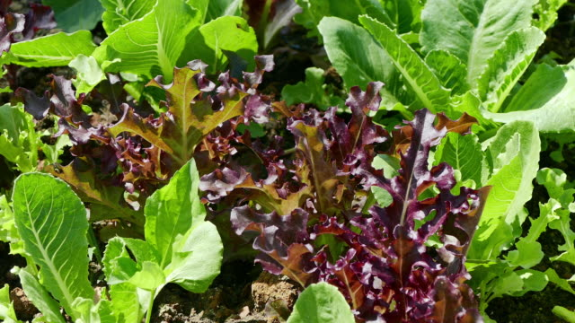 4K footage close up of salad vegetable in garden video