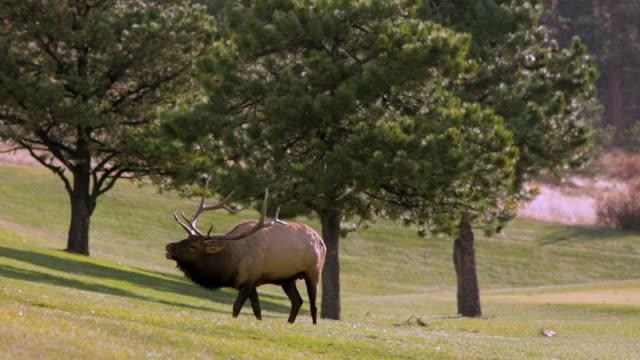 フッテージ - エルクス食べる草 - 4k - 動物の雄点の映像素材/bロール