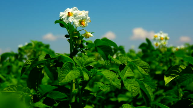 4K Footage. Green Field of Flowering Potatoes. Young Potatoes before Harvesting. Close Up video