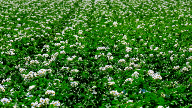 4K Footage. Green Field of Flowering Potatoes. Young Potatoes before Harvesting. Wide Up video