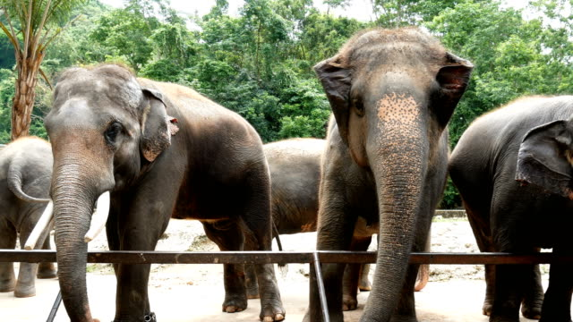 vidéos et rushes de images 4k. groupe de l'éléphant d'asie au zoo - zoo