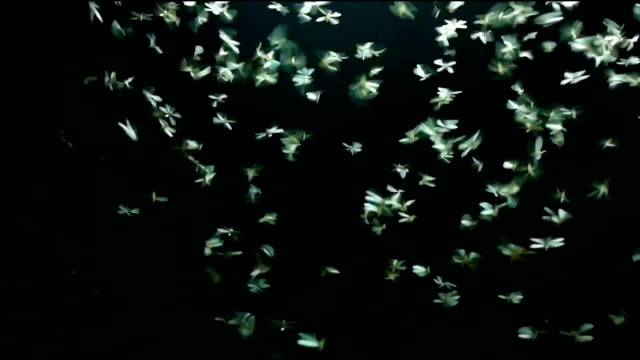 Footage Mayfly playing light in black background. video