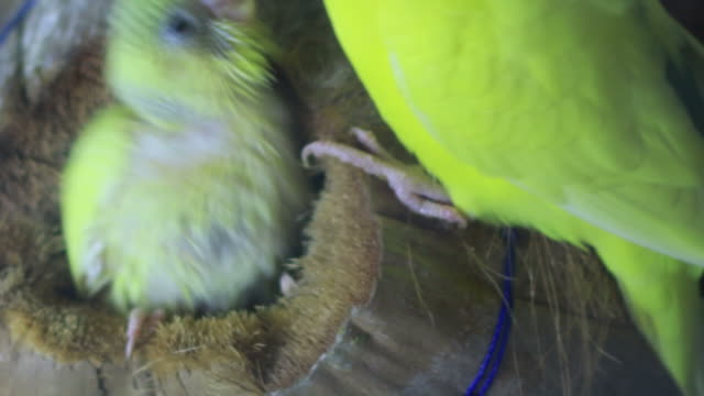 HD footage of A bird feeding its nest of young birds video