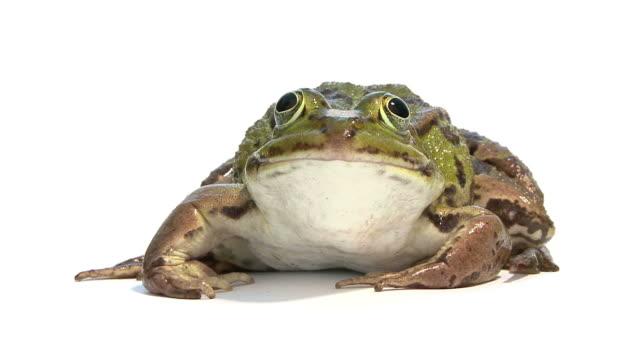 footage of a Edible Frog - Rana esculenta  frog stock videos & royalty-free footage