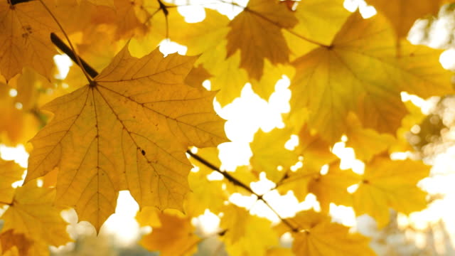 Footage of a fall season, the shot is taken under a colorful tree, the leaves are swinging in the wind video