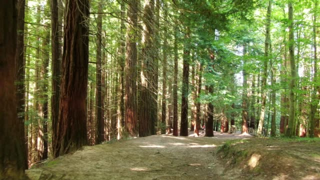 4K footage of a redwood forest