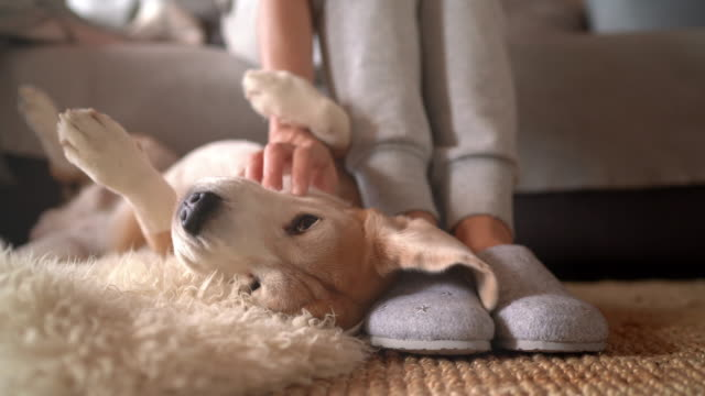 vídeos de stock e filmes b-roll de 4k uhdtv footage of beagle dog female owner caress stroking her pet lying on the back on natural stroking dog on the floor and enjoying the warm home atmosphere. - feet hand