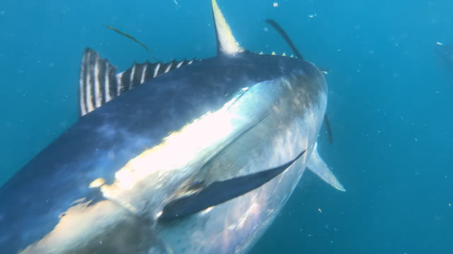 Footage of Bluefin Tuna fish eating on the surface and underwater. Slow motion.