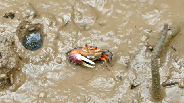 HD Footage of Fiddler crab in mangrove forest south of Thailand video