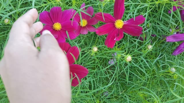 Footage of Hand Holding Purple Cosmos Flowers