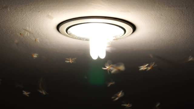 4K footage of Mayflies swarming and flying the light, bug life concept video