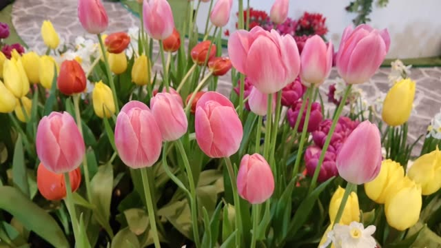 Footage of Multicolor Tulip Flowers in The Greenhouse