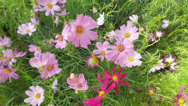 Footage of Pink and Purple Cosmos Flowers in A Garden