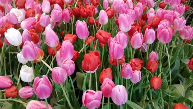 Footage of Red and Pink Tulip Flowers