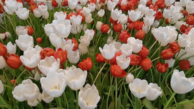 Footage of Red and White Tulip Flowers