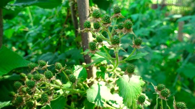 夏の間に果樹園で熟したブラックベリーの映像 - 熟していない点の映像素材/bロール