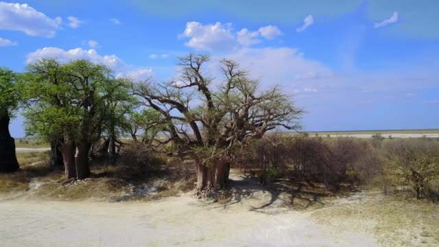 4k aufnahmen der luftaufnahme der riesenbaines baobabs im nxai pan nationalpark, botswana - affenbrotbaum stock-videos und b-roll-filmmaterial