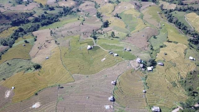 4k footage on golden organic rice field - burma home do стоковые видео и кадры b-roll